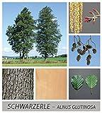 Schwarzerle Alnus glutinosa 125 Samen
