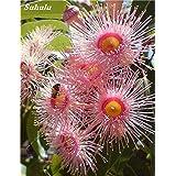 ¡Gran venta! 60 piezas de eucalipto del arco iris deglupta, plantas angiospermas perenne semillas de flores, la planta del ár