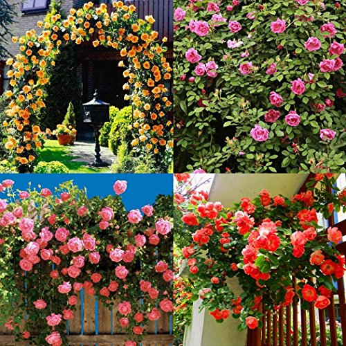 Voiks Garden Flower Seeds - 100pcs Seeds Aubrieta hybria Ivy Creepers and...