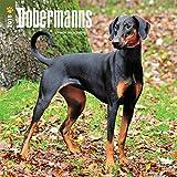 Dobermans International - Dobermänner 2018-18-Monatskalender mit freier DogDays-App: Original BrownTrout-Kalender [Mehrsprachig] [Kalender] (Wall-Kalender)