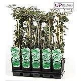 Blumen Senf Großblättriger Irischer Efeu 70 cm Hedera hibernica