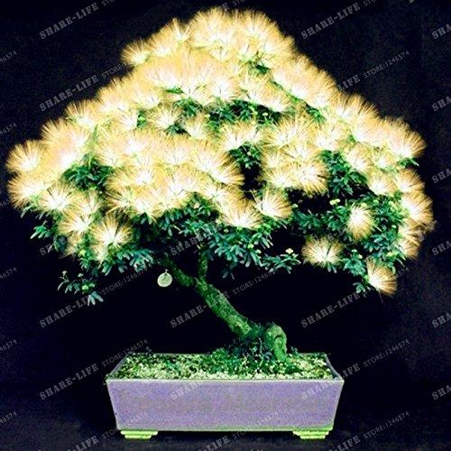 Graines vivaces Albizia fleur (Albizia julibrissin) Fleur Bonsai Arbre Graines Arbre d'ornement Maison, Jardin 20pcs / Sac 7