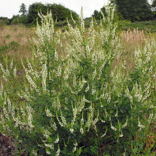 Plant World Seeds - Melilotus Albus Seeds