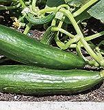 PLAT FIRM Germinazione dei semi: 50 - Semi: Ishtar cetriolo Semi - è grande per i coltivatori costiere !! molto produttivo !!!!!