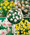 BALDUR-Garten Mini-Narzissen Prachtmischung, 35 Zwiebeln Zwergnarzissen Narcissus von Baldur-Garten auf Du und dein Garten