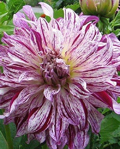 Caribbeangardenseed Flacher Teller Dahlia Bristol Stripe (4Leuchtmittel) Töpfen und Pflanzgefäßen, Schnittblumen. mehrjährig - Bristol Stripe