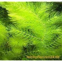 3 Bund/Portionen Hornkraut, Ceratophyllum demersum, für Teich und Aquarium