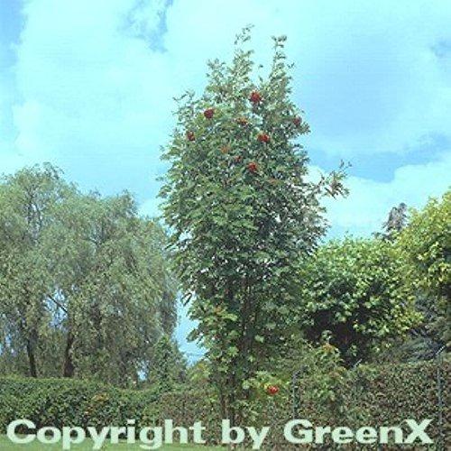 Pyramiden Eberesche 100-125cm – Sorbus aucuparia Fatigiata