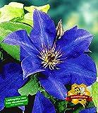 BALDUR-Garten Blaue Clematis 'The President' Waldrebe winterhart