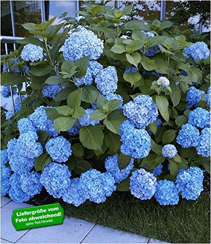 BALDUR-Garten Bauern-Hortensien 'Générale Vicomtesse de Vibraye', Hydrangea macrophylla, 1 Pflanze