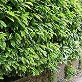Immergrüne frostharte Kirschlorbeer Topfware Novita Prunus Laurocerasus ca. 50cm 10 / 20 oder 50Stück (20)