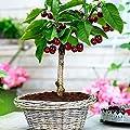 SOTEER Bonsai Obst baum Mini Actinidia chinensis Kirschebaum Apfelbaum Citrusbaum Gemischtbaum Samen, 50 Stück/Pack, Bonsai geeignet von SOTEER bei Du und dein Garten