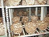 AGROBITS 5gr / 0,2 (Oz) Shiitake, micelio Spawn semi secchi per i log e Supstrats