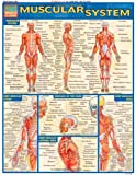 Muscular System Laminate Reference Chart (Quickstudy: Academic)