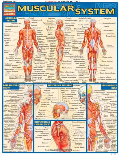 Muscular System Laminate Reference Chart (Quickstudy: Academic) por Vincent Perez