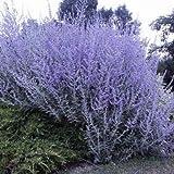 Vivai Le Georgiche PEROVSKIA ATRIPLICIFOLIA BLUE SPIRE (SALVIA SIBERIANA)