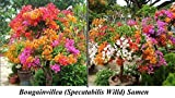 15x Bougainvillea Samen Hingucker Blume Blumensamen Pflanze Rarität Baum Saatgut Garten Neuheit #100