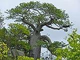 100 seeds Adansonia digitata, African Baobab, Baobab