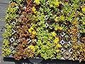 Dachbegrünungspaket Steinrosenflur für 5 m² von Dachstauden auf Du und dein Garten