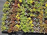 Dachbegrünungspaket Steinrosenflur für 5 m²