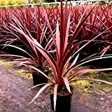 Cordyline australis Red Star Keulenlilie winterhart