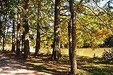 Artland Qualitätsbilder I Bild auf Leinwand Leinwandbilder Wandbilder 90 x 60 cm Botanik Bäume Nadelbaum Foto Braun D2JV Herbstliche Bäume am See
