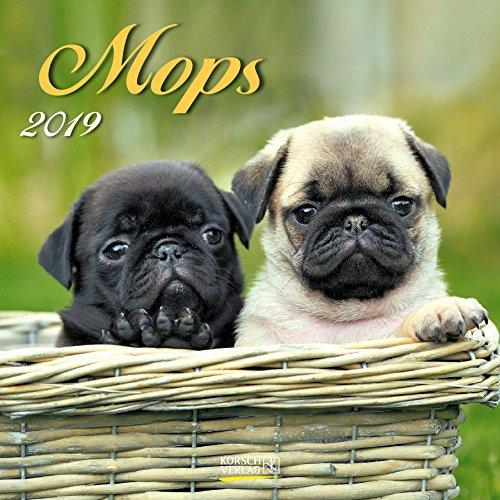 Mops 2019: Broschürenkalender mit Ferienterminen. Hunde-Kalender. 30 x 30 - Mops-fotos
