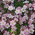 lichtnelke - Moossteinbrech ( Saxifraga x arendsii 'Roseum Elegans' ) von Lichtnelke Pflanzenversand - Du und dein Garten