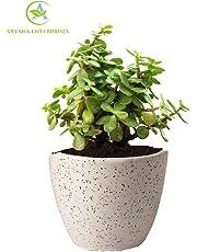 Aryana enterprises Good Luck Jade Plant In Round Dew Ceramic Pot