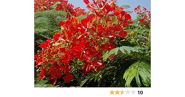 Peacock Flower Flamboyant Tree Flame Tree Royal Poinciana 5 Samen