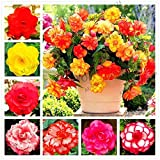Portal Cool 4: 100Pcs Begonia Malus Spectabilis Blumensamen Bonsai Staudengarten Pflanzen