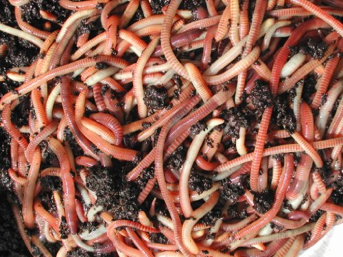 Tiger Composting Medium Worms 500g Wormcity Includes Caring for Your Wormcity Worms Leaflet