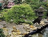 Dominik Blumen und Pflanzen, Grüner Schlitzahorn, Acer palmatum