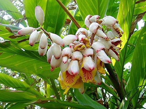 Muschelingwer Alpinia zerumbet tolle Blüten Zingiber Galgant Ingwer Pflanze 10cm