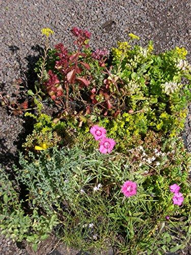 Sedum - Kräuter - Pflanzenpaket Steinrosenflur für 5 m² Dachbegrünung, Steingarten, etc.