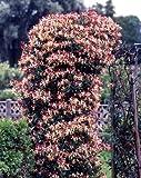 Jelängerjelieber. Lonicera brownii Dropmore Scarlet®. 1 Pflanze - zu dem Artikel bekommen Sie gratis ein Paar Handschuhe für die Gartenarbeit dazu
