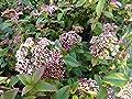 Immergrüner Winterschneeball Gwenllian (Viburnum tinus) - immergrün, weiße Blüten, angenehmer Duft - Winter-Pflanze vom Testsieger Stiftung-Warentest: Garten Schlüter von Garten Schlüter auf Du und dein Garten