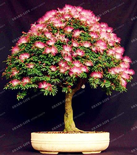 Graines vivaces Albizia fleur (Albizia julibrissin) Fleur Bonsai Arbre Graines Arbre d'ornement Maison, Jardin 20pcs / Sac 4