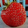 Brightup 100 Stück Riesen-Erdbeer-Samen von Brightup auf Du und dein Garten