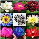 NooElec Seeds India SEEDVILLE Lotus Flower Seeds All Mix Colors Growing Lotus Brings Positive Vibrations According To Vaastu Shastra (Pack of 15 Seeds)