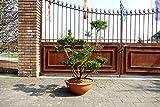 Formgehölze, Outdoor-Bonsai - Ilex crenata 'Glorie Gem' - Garten von Ehren®