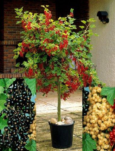 Johannisbeer-Stämmchen Sortiment. bestehend aus je 1 Pflanze der Sorten Jonkher van Tets®. Weiße Versailler®. Silvergrieters Schwarze® - zu dem Artikel bekommen Sie gratis ein Paar Handschuhe für die Gartenarbeit dazu