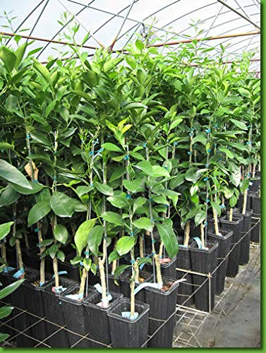 FERRY Bio-Saatgut Nicht nur Pflanzen: Satsuma Owari: Free Dery Verpflanzen Orange Zitrone Limette Mandarine Kumquat + by -