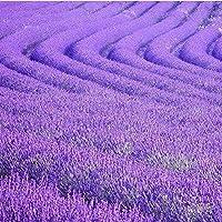 Qbisolo Lavender Flowers,Lavender Fragrance Plant Semillas de Lavanda Francesa 25 / Bolsa