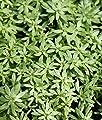 2er-Set - winterhart! - Callitriche palustris - Sumpf-Wasserstern - Frühlingswasserstern - Wasserpflanzen Wolff von Wasserpflanzen Wolff bei Du und dein Garten