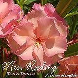 Oleander 'Mrs. Roeding/Rosee du Ventoux®' - Nerium oleander - Größe C03
