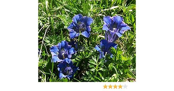 Gentiana Acaulis Details about  /Gentian stemless 25 seeds #3101