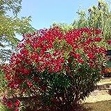 Nerium oleander (Oleandro Rosso) [Vaso Ø24cm]