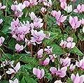 Herbst Alpenveilchen - Cyclamen hederifolium von Baumschulen bei Du und dein Garten