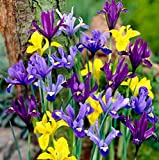 Cottage Garden Bulbs: 25 x Dwarf Specie Iris Bulbs - Mixed Colours - Free UK P & P